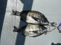 <p>快晴に恵まれ 卵を持った良型のチヌが出ました!</p> <p>門真市の濱本様、旧一文字赤灯で、36cmと42cmのチヌ</p> <p>ウキ釣り 餌シラサエビ</p>