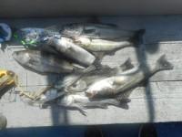<p>中波止で ハネ好釣!</p> <p>東大阪市の周様等 キビレ43センチを 含み ハネ数釣れました。</p> <p>ウキ釣り 餌シラサエビ。</p>