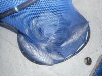 <p>宇治市の岩井様 中波止で ハネ50センチまでを 4匹</p> <p>ウキ釣り 餌シラサエビ</p>