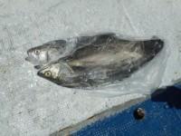 <p>昨日の北東風の影響で 潮が悪く魚が酸欠状態でした</p> <p>昼からの 回復に期待 その中で 堺市の前田様 沖の北で</p> <p>スズキ65センチ ウキ釣り 餌シラサエビ</p> <p></p>