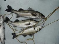 <p>松原市の中島様、中波止で、58cmまでのハネ3匹 ウキ釣り 餌シラサエビ</p>