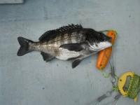 <p>東大阪市の中村様、沖の北で、50cmのチヌ他</p> <p>ウキ釣り 餌シラサエビ</p>