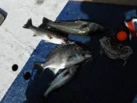 <p>堺市のスガチャン、中波止で、41cmのキビレ、35cmと38cmのハネ</p> <p>ウキ釣り 餌シラサエビ</p>