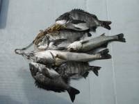 <p>暖かく穏やかな釣り日和です。</p> <p>大阪市の徳山様、旧一文字白灯で、54cmまでのハネ2匹とチヌ4匹</p> <p>ウキ釣り 餌シラサエビ</p>