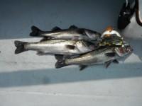 <p>忠岡町の前田様、沖の北で、56cmまでのハネ3匹</p> <p>ウキ釣り 餌シラサエビ</p>