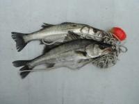 <p>枚方市の岩田様、沖の北で、ハネ ウキ釣り 餌シラサエビ</p> <p></p>