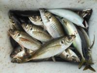 <p>ただ今 23センチから27センチの アジが爆釣中!</p> <p>和泉市の松原様 沖の北で釣行の真最中。</p> <p>サビキ 餌アミエビで釣れてます。</p>