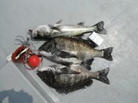 <p>沖一文字では、ぼちぼち鯖があたりだしてきました。</p> <p>岸和田市の田中様、沖の北で、46cmと50cmのチヌ、51cmのハネ他</p> <p>ウキ釣り 餌シラサエビ</p>