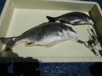 <p>沖の白灯では落とし込みでチヌの釣果も上がり始めました</p> <p>富田林市の宝来様、中波止で39cmのキビレとチヌ</p> <p>ウキ釣り 餌シラサエビ</p>