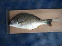 <p>本日は、目立った釣果はありませんでした。</p> <p>沖の北で、43cmのキビレ</p> <p>ウキ釣り 餌シラサエビ</p>