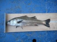 <p>大東市の山田様 沖の北で</p> <p>ハネ ウキ釣り 餌シラサエビ</p> <p>他の人 ガシラなど 釣果が ありました</p>