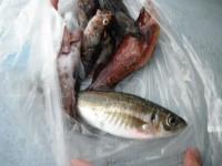 <p>大阪市の谷岡様、沖の白灯で、アジ、根魚</p>
