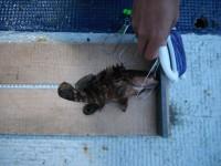 <p>和泉市の川崎様、沖の北で、24cmのアコウ ウキ釣り 餌シラサエビ</p>