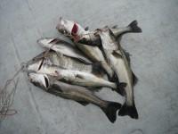 <p>雨の中、早朝から7時半まで爆釣!!</p> <p>堺市のスガチャン、45cm~60cmのハネ6匹、46cmのチヌ</p> <p>他、ガシラ・チヌ・セイゴ等リリース多数あり ウキ釣り 餌シラサエビ</p>