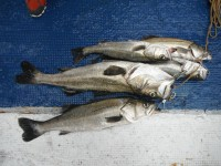 <p>中波止、沖一文字ではハネ・スズキ好釣!</p> <p>大阪市の徳山様、沖の北で、77cmのスズキをはじめ、スズキ2匹、ハネ3匹</p> <p>ウキ釣り 餌シラサエビ</p>
