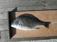 <p>東大阪市の今中様、中波止で、35cmのキビレ</p> <p>ウキ釣り 餌シラサエビ</p>
