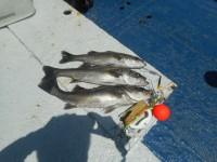 <p>岸和田市の田中様 中波止で 60センチまでの</p> <p>ハネ 3匹</p> <p>ウキ釣り 餌シラサエビ</p>