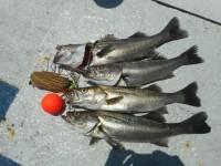 <p>岸和田市の田中様、沖の一文字でハネ52㌢まで4匹</p> <p>ウキ釣り 餌シラサエビ</p>