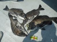 <p>松原市の橘様、沖の一文字で、チヌ48㌢まで4匹</p> <p>落とし込み 餌イガイ</p>