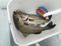 <p>東大阪市の村田様、沖の一文字で、ハネ43㌢まで 2匹</p> <p>ウキ釣り 餌シラサエビ</p>