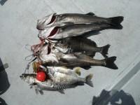 <p>中波止・沖一文字では、スズキ・チヌが引き続き好釣!</p> <p>岸和田市の田中様、61cmと66cmのスズキ、50~57cmのハネ3匹、38cmと42cmのチヌ</p> <p>ウキ釣り 餌シラサエビ</p>