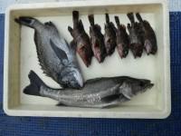 <p>本日も釣果報告いただきました!いつもご協力ありがとうございます!!</p> <p>岸和田市の田中様、沖の北で、51cmのハネ・46cmのチヌ・18~20cmのガシラ5匹</p> <p>ウキ釣り 餌シラサエビ</p>
