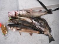 <p>岸和田市の田中様、52~57cmのハネ4匹、47cmのチヌ</p> <p>ウキ釣り 餌シラサエビ</p>