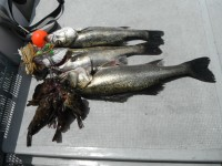 <p>連日好釣の岸和田市の田中様、本日は沖の白灯でも好釣!!</p> <p>48~59cmのハネ3匹、ガシラ5匹</p> <p>ウキ釣り 餌シラサエビ</p>