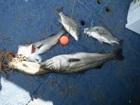 <p>泉州ハネ釣り研究会の皆様の釣果です</p> <p>ウキ釣り 餌シラサエビ</p>