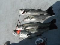 <p>沖の一文字ではハネ・チヌが好釣!!</p> <p>枚方市の山本様、沖の白灯で、60cmまでのハネ5匹</p> <p>ウキ釣り 餌シラサエビ</p>