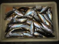 <p>本日もアジ・根魚等が好釣!!</p> <p>岸和田市の白田様、20cm~24cmのアジ35匹</p> <p>サビキ アミエビ</p>