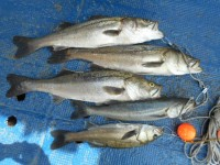 <p>本日は沖の一文字と中波止にてハネ・スズキ好釣!!</p> <p>岸和田市の橋本様、沖の一文字白灯でスズキ73㌢まで4匹</p> <p>ウキ釣り 餌シラサエビ</p>
