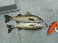 <p>本日は、雨の天候の悪い中、奈良県香芝市の左海様</p> <p>沖の一文字白灯で、ハネ50㌢まで2匹</p> <p>ウキ釣り 餌シラサエビ</p>