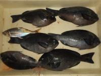 <p>和泉市の川崎様、沖の一文字で、グレ31cmまでを6匹・アジ21cm 1匹</p> <p>釣り方 フカセ 餌 イシゴカイ</p>