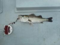 <p>大阪市の板持様、沖の一文字白灯で、ハネ48cm 1匹</p> <p>ウキ釣り 餌シラサエビ</p>