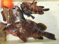 <p>本日、朝一に沖の北で、40cmオーバーのアコウ出ました!!</p> <p>岸和田市の田中様、沖の一文字北で、アコウ25cm・46cm 2匹・ガシラ20cmまで2匹</p> <p>ウキ釣り 餌シラサエビ</p>