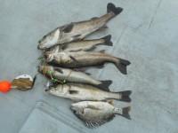 <p>沖の白灯ではハネが好釣!!</p> <p>岸和田市の田中様、沖の白灯で、75cmまでのスズキ2匹・ハネ3匹・キビレ</p> <p>ウキ釣り 餌シラサエビ</p>