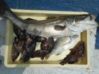 <p>本日も岸和田市の田中様、沖の白灯で好釣!!</p> <p>77cmのスズキ・28cmのアコウ・23cmまでのガシラ9匹他</p> <p>ウキ釣り 餌シラサエビ</p>