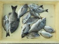 <p>岸和田市の湯本様、旧一文字カーブで、紀州釣りで13匹のチヌ</p>