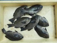 <p>奈良の井澤様、沖の一文字北で、グレ23~26cm 7匹</p> <p>ヌカギリ 餌イシゴカイ</p>
