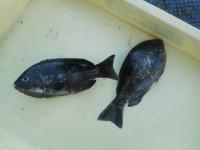 <p>堺市のスガチャン、沖の一文字白灯で、グレ24cmまで2匹</p> <p>ウキ釣り 餌シラサエビ</p>