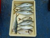 <p>尼崎市の大岡様と中西様 沖の北で シオとツバス!</p> <p>朝7時ごろまでに シオ2匹とツバス6匹をゲット。</p> <p>メタルジグ ルアーでの釣果です。</p>