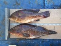 <p>引き続きタコ好釣!!</p> <p>サビキではアジ・サバ・イワシが釣れています。</p> <p>釣りクラブ'水都波闘会'様、沖の白灯で、37cmのアコウ、31cmのカンダイ  シラサエビ</p>