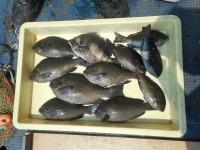 <p>奈良市の井澤様に本日も釣果を頂きました!</p> <p>沖の北で、24cmのサンバソウ・22~29cmのグレ 10匹</p> <p>ヌカ切り イシゴカイ いつもより食いが渋かったようです。</p>