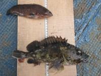 <p>和泉市の西様、沖の一文字スリットカーブで、アコウ20cm前後1匹・ガシラ27.5cm1匹</p> <p>ズボ釣り 餌シラサエビ</p> <p>&nbsp;</p>