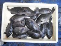<p>奈良市の井澤様、沖の一文字北で、グレ28cmまで14匹</p> <p>ヌカギリ 餌イシゴカイ</p>