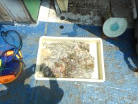 <p>堺市の南部様 沖の一文字で タコ800グラムまでを 20パイ</p> <p>探り釣り タコテンヤ</p> <p>ほとんどが はと際壁狙い!</p>