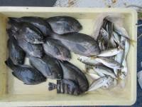 <p>奈良市の井澤様 沖の北で</p> <p>グレ 10匹 ヌカ切り イシゴカイ</p> <p>マメアジ 50匹程 サビキ</p>