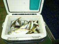 <p>本日の午前中は、タチウオ・ツバス・サゴシが釣れていました。</p> <p>藤井寺市の山本様 沖の北で</p> <p>26cmを含むマメアジをクーラー杯 サビキ</p>