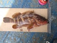 <p>堺市の梨田様、旧の一文字赤灯で、アコウ43cm 1匹</p> <p>ウキ釣り 餌シラサエビ</p>